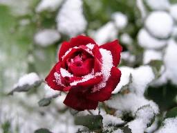 20121220144039-rosa-nieve.jpg