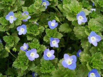 20100803072457-florecillas-azules.jpg