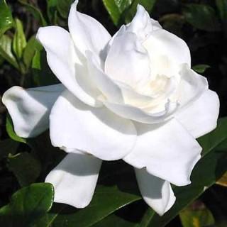20180917103539-gardenia-86d5d4a4-fa00-4587-b562-97b52b23088f.jpg